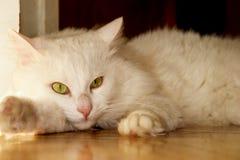 Gato blanco (del angora) Imagenes de archivo