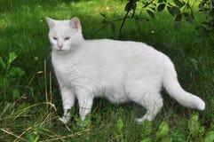 Gato blanco del angora en la hierba Imagen de archivo