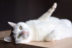 Gato blanco del gato atigrado con los ojos verdes y la nariz rosada que mienten en piso de madera en fondo oscuro fotos de archivo
