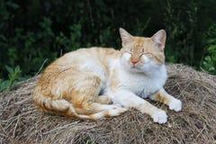 Gato blanco del jengibre que duerme en la pila de heno Fotos de archivo libres de regalías