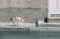Gato blanco del pueblo Fotos de archivo libres de regalías