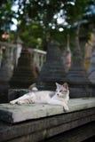 Gato blanco del templo Foto de archivo