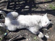Gato blanco dormido imagen de archivo libre de regalías