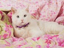 Gato blanco en cama Imágenes de archivo libres de regalías
