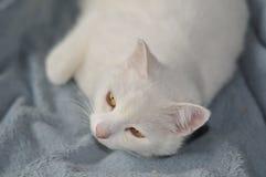 Gato blanco en la manta azul Fotografía de archivo