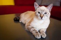 Blanco del gato imagen de archivo libre de regalías