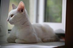 Gato blanco en la ventana en la mirada del alféizar Imágenes de archivo libres de regalías