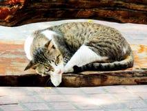 Gato blanco en Tailandia que está situada en el piso foto de archivo