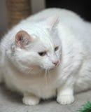 Gato blanco grueso imágenes de archivo libres de regalías
