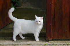 Gato blanco hermoso con diversos ojos del color Imagenes de archivo