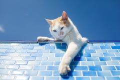 Gato blanco juguetón al lado de la piscina Foto de archivo