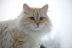 Gato blanco mullido del adulto del jengibre Fotos de archivo