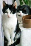 Gato blanco negro Fotografía de archivo libre de regalías