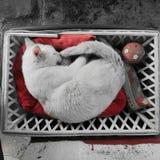 gato blanco que duerme dulce Fotos de archivo libres de regalías