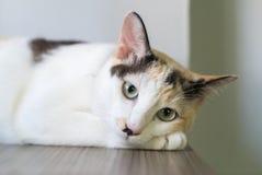 Gato blanco que duerme en la tabla y que mira algo Fotos de archivo