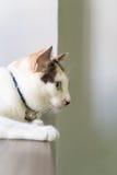 Gato blanco que duerme en la tabla y que mira algo Imágenes de archivo libres de regalías