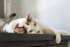 Gato blanco que duerme en la tabla y que mira algo Imagen de archivo libre de regalías