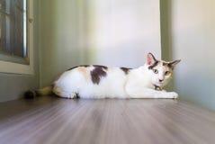 Gato blanco que duerme en la tabla y que mira a la cámara Fotografía de archivo