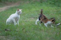 Gato blanco que juega alrededor con otro en las hierbas fotos de archivo libres de regalías