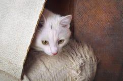 Gato blanco que juega escondite Imagen de archivo
