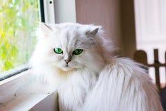 Gato blanco que le mira Fotos de archivo libres de regalías