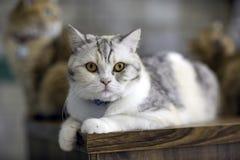 Gato blanco que miente en el piso en el cuarto fotografía de archivo