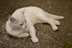 Gato blanco que miente en la tierra fotografía de archivo