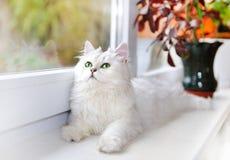 Gato blanco que miente y que mira fijamente para arriba. Fotografía de archivo