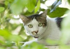 Gato blanco que mira de detrás las hojas verdes Imagen de archivo
