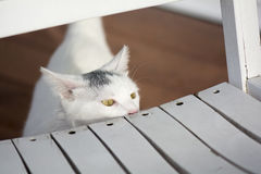 Gato blanco que mira a escondidas detrás de la vieja mecedora blanca Imagen de archivo libre de regalías