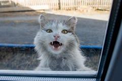 Gato blanco que mira a escondidas hacia fuera la ventana Foto de archivo libre de regalías