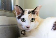 Gato blanco que mira a la cámara Fotografía de archivo