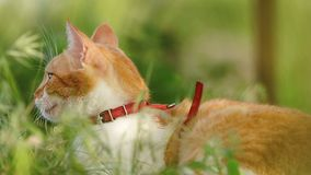 Gato blanco rojo divertido lindo en el cuello rojo que se relaja en la hierba verde en el jardín del verano Puesta del sol, tiro  almacen de video
