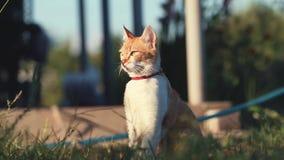 Gato blanco rojo divertido lindo en el cuello rojo que se relaja en la hierba verde en el jardín del verano Puesta del sol, tiro  almacen de metraje de vídeo