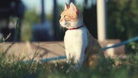 Gato blanco rojo divertido lindo en el cuello rojo que se relaja en la hierba verde en el jardín del verano Puesta del sol, tiro  metrajes