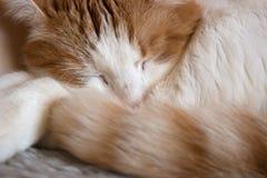Gato blanco-rojo el dormir primer Imagen de archivo libre de regalías