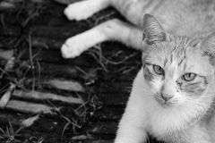 Gato blanco rojo en piso en blanco y negro Fotos de archivo libres de regalías