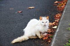 Gato blanco sucio perdido con los ojos azules Foto de archivo libre de regalías