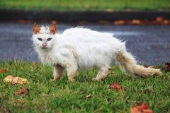 Gato blanco sucio perdido con los ojos azules Imágenes de archivo libres de regalías