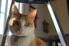 Gato blanco y anaranjado Fotografía de archivo libre de regalías