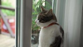 Gato blanco y gris almacen de metraje de vídeo