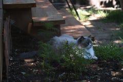 Gato blanco y gris del ragdoll con los ojos azules brillantes fotos de archivo