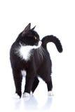 Gato blanco y negro. Foto de archivo