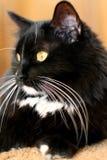 Gato blanco y negro Fotografía de archivo