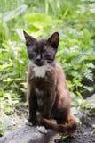 Gato blanco y negro con los ojos verdes foto de archivo