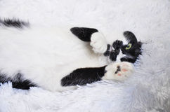 Gato blanco y negro con los ojos verdes Fotografía de archivo