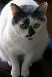 Gato blanco y negro con los ojos verdes grandes Fotografía de archivo libre de regalías