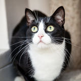 Gato blanco y negro con los ojos verdes que parecen para arriba sorprendidos Fotos de archivo