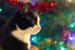 Gato blanco y negro a continuación un árbol de pino de la Navidad Fotos de archivo libres de regalías