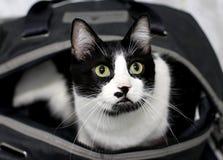 Gato blanco y negro curioso fotografía de archivo libre de regalías